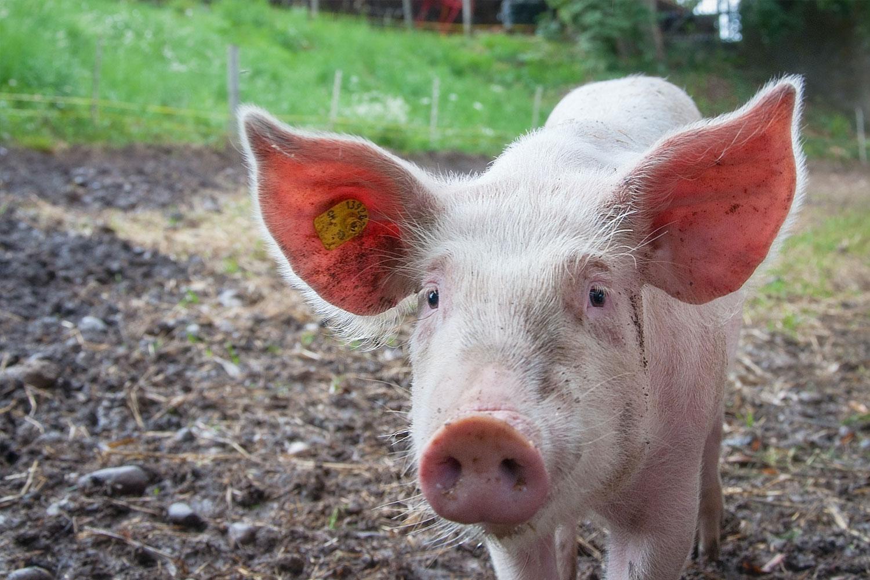 ASF w Polsce. Jak spalać martwe świnie